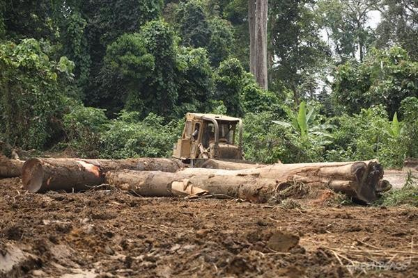 Workers use machinery to stack logs in a Sodefor logging concession in the village of Bossa. Sodefor is a logging company that operates in the Democratic Republic of the Congo. Expansion of logging into remaining areas of intact forests in the Democratic Republic of the Congo will destroy globally critical carbon reserves and impact biodiversity. Beyond environmental impacts, logging in the region exacerbates poverty and leads to social conflicts. The DRCs rainforests are critical for its inhabitants, who depend upon the rainforests to provide essential food, medicine, and other non-timber products, along with energy and building materials.
