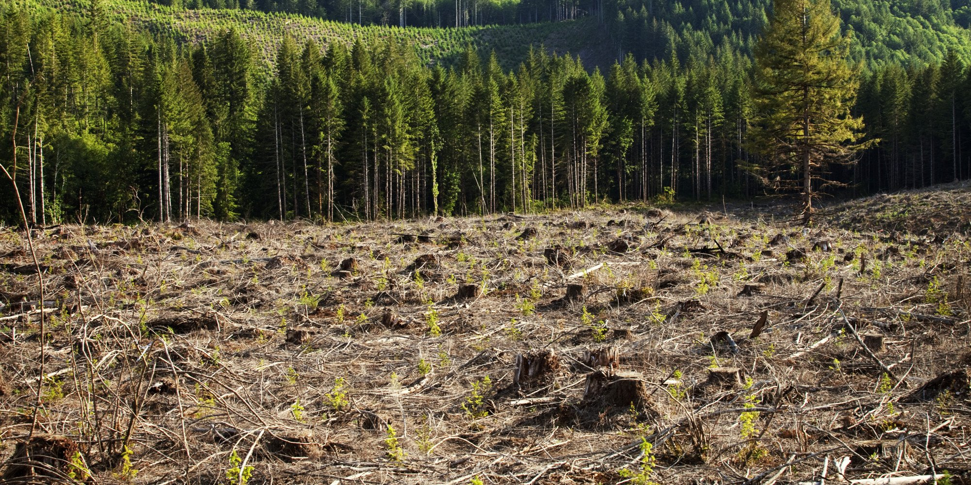 Reforestation of Field of Trees in Clearing
