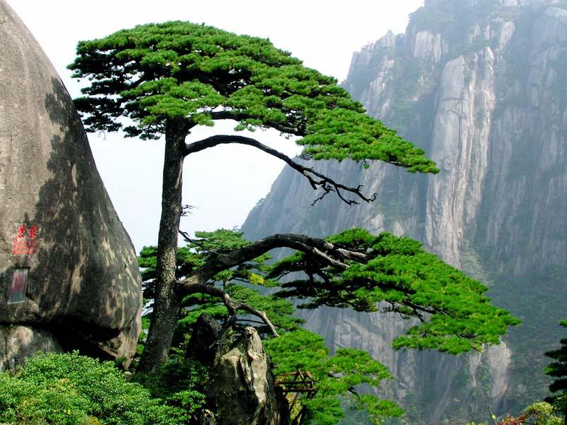 img-china-pinetree_big