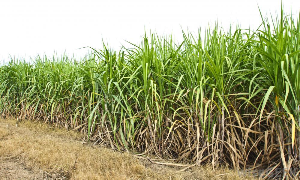 field-of-sugar-cane