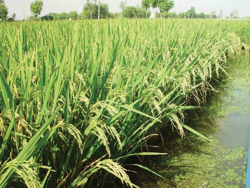 hybridná ryža