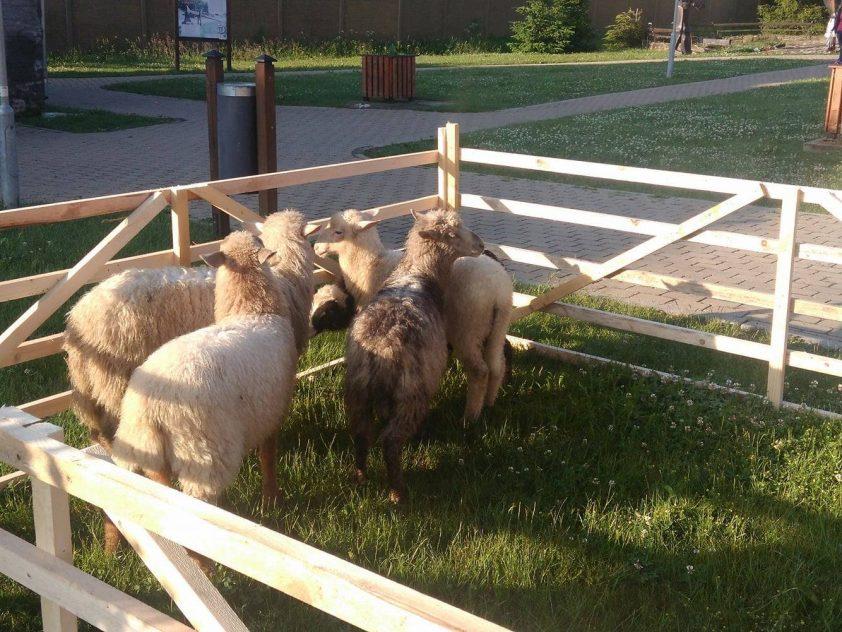 ovce v dedine