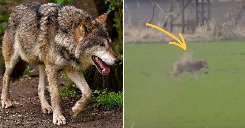 vlk-prez