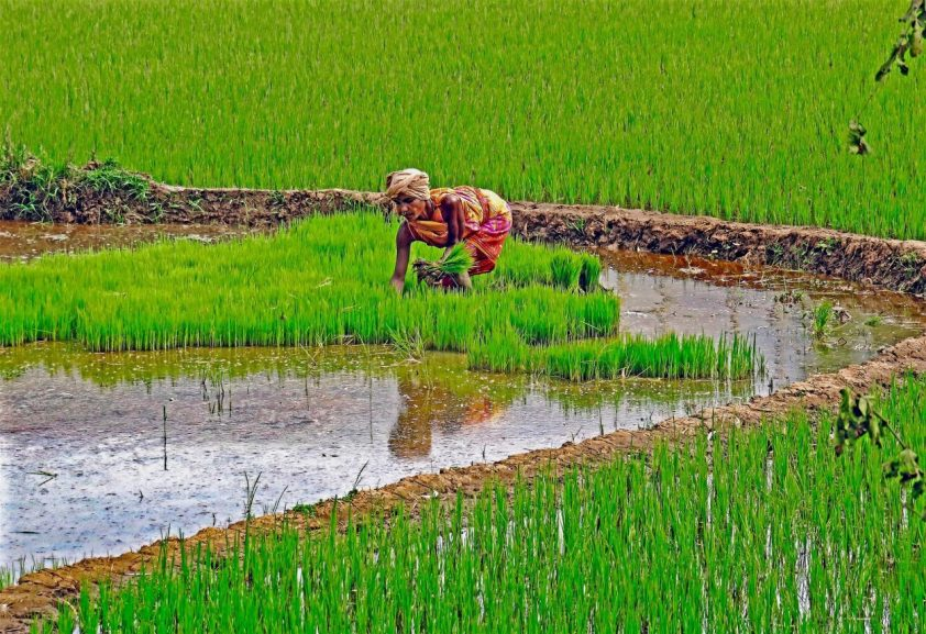 ryžové pole