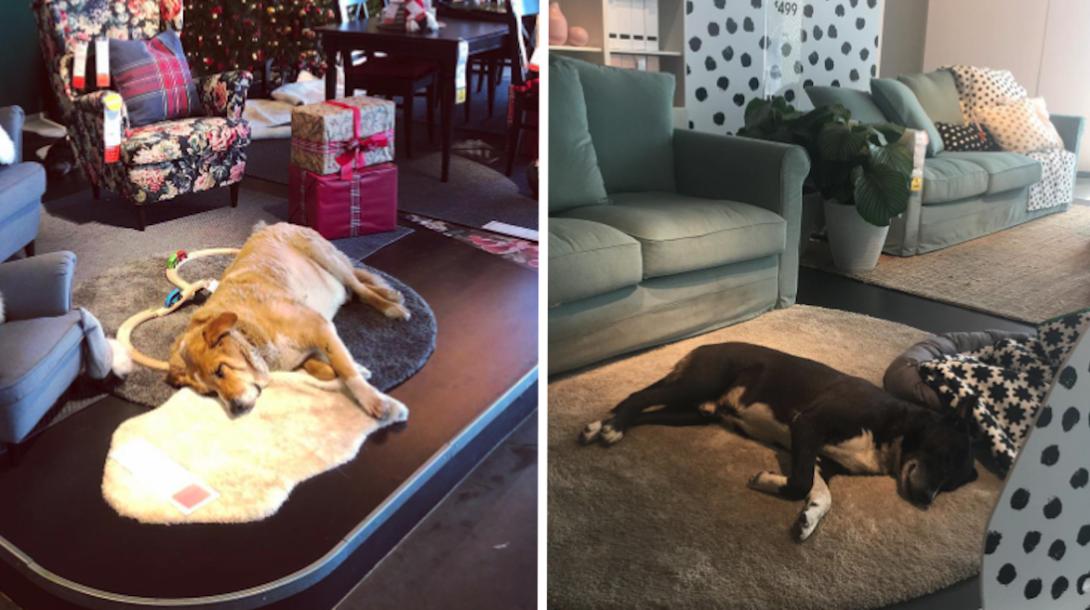 ikea-homeless-dogs
