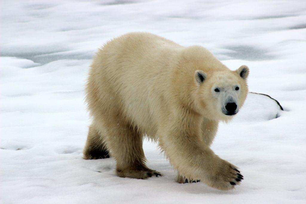 Severný pol bez letnej ľadovej pokrývky pred rokom 2050