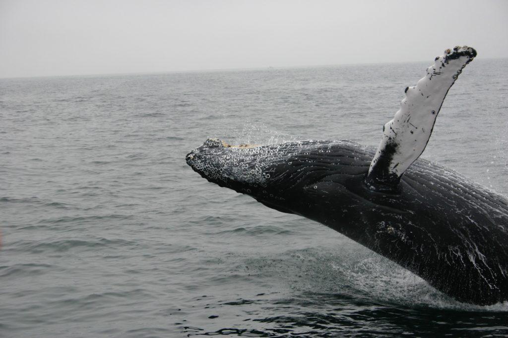 Na Islande sa v roku 2020 nezabije žiadna veľryba
