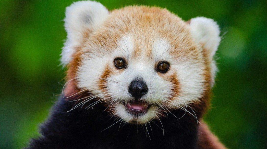 red-panda-981231_1280