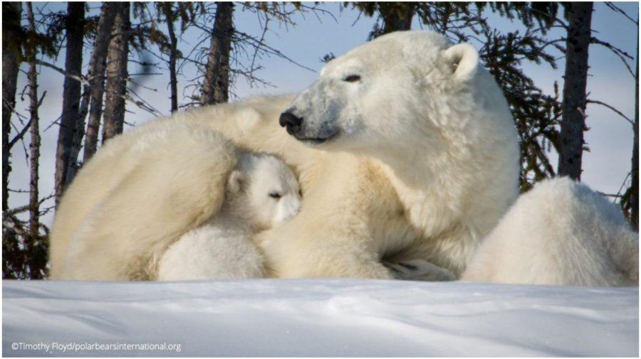 Medvede biele
