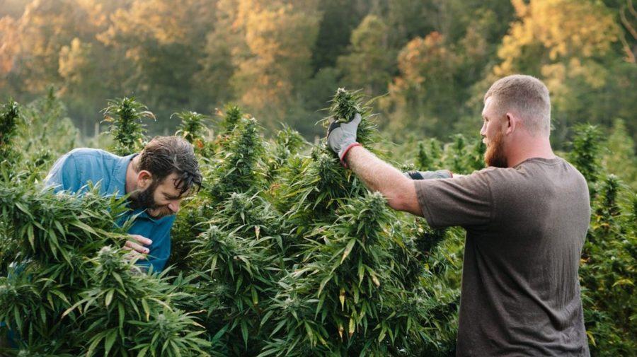 marihuana konope cbd