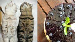 mačky kaviareň koláč