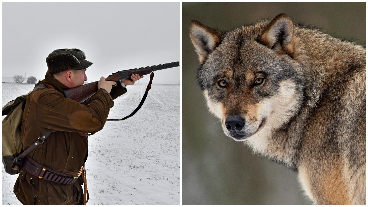 vlk, polovnik
