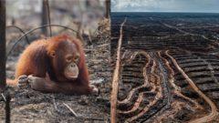 zivotne prostredie, orangutan, palmovy olej