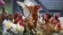 hydina sliepky vtáčia chrípka chov