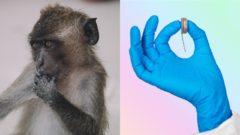 Neuralink opica