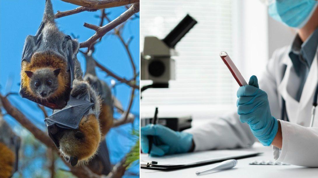netopier, korona,laboratorium