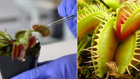 mäsožrave rastliny