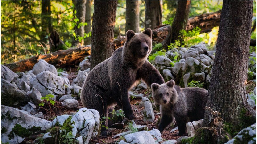 Medved