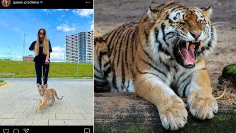 plačková tiger