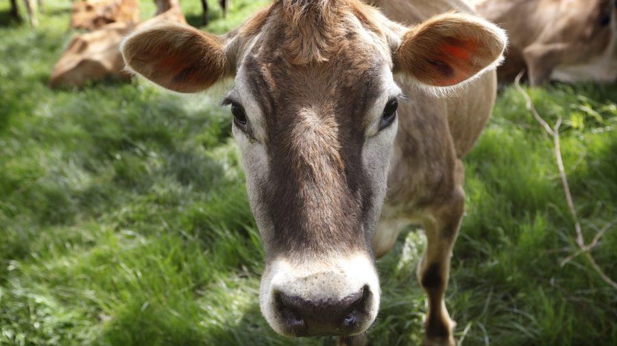 krava dobytok hovädzí
