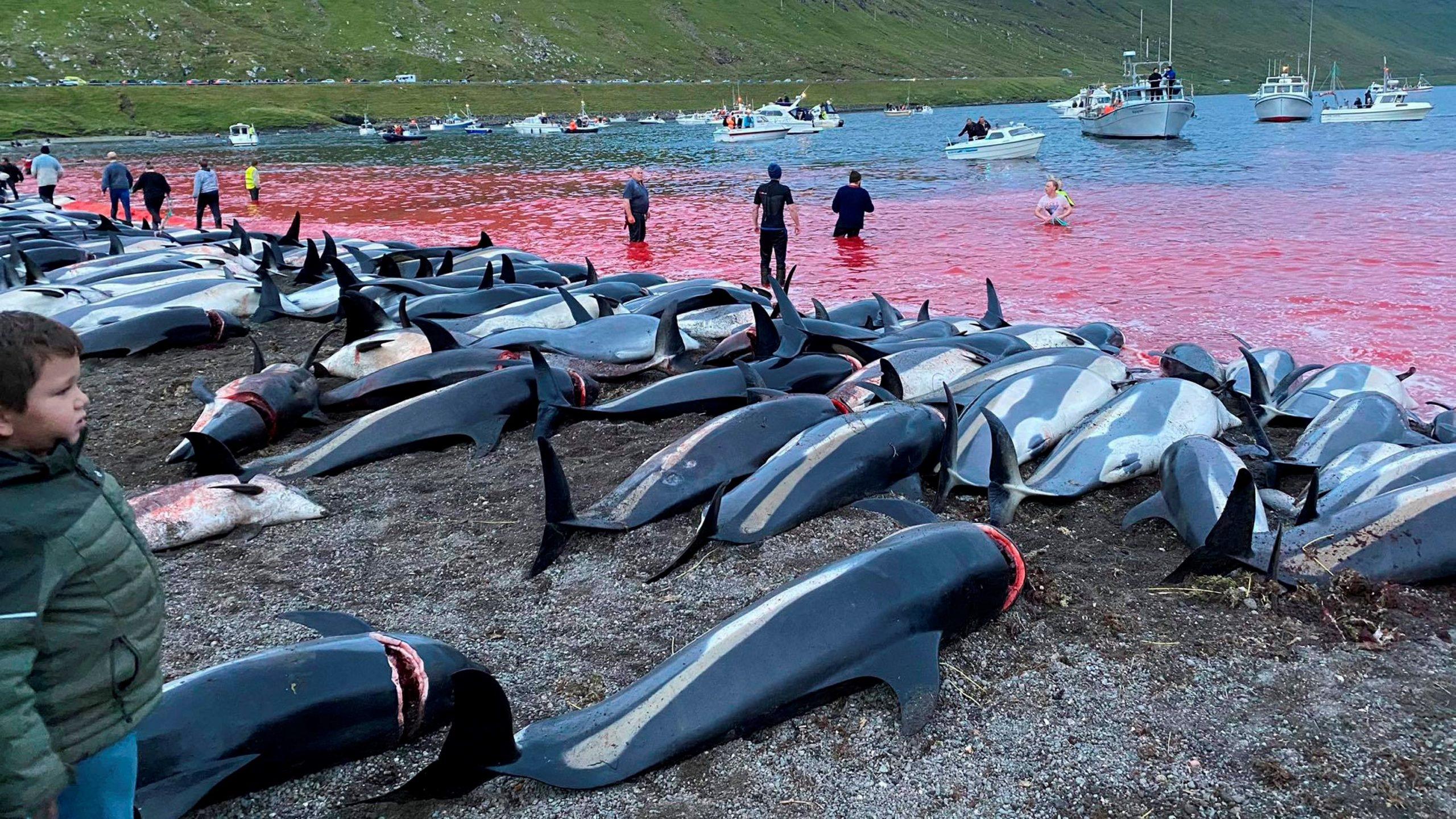delfín faerske ostrovy