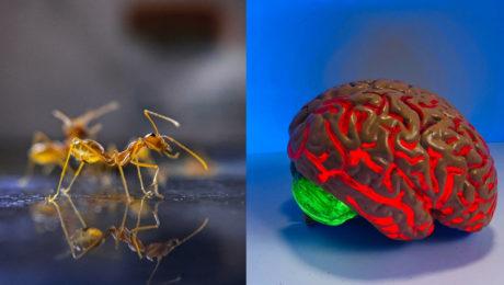 mozog, mravec