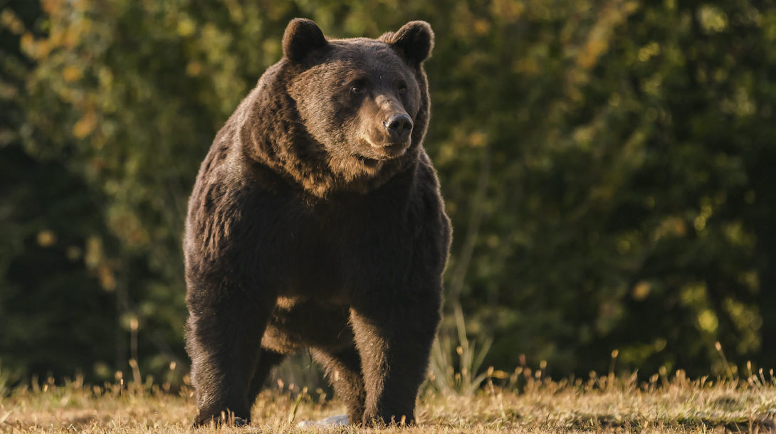 Romania_Bear_Killed_Austrian_Prince481089779534